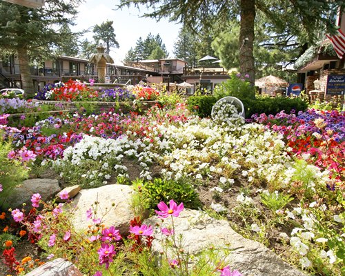 Flowering shrubs of the Stardust Lodge surrounded by pine trees.