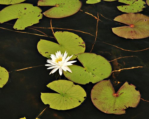 Lotus flower and leaves inside the lake.