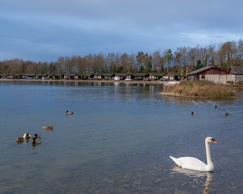 A swan and mallards on the lake alongside the units at Pine Lake Resort surrounded by wooded area.