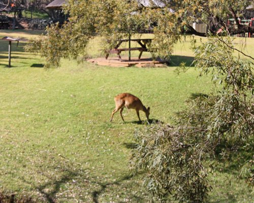 A deer at the lawn in the Magalies Park Country Club.