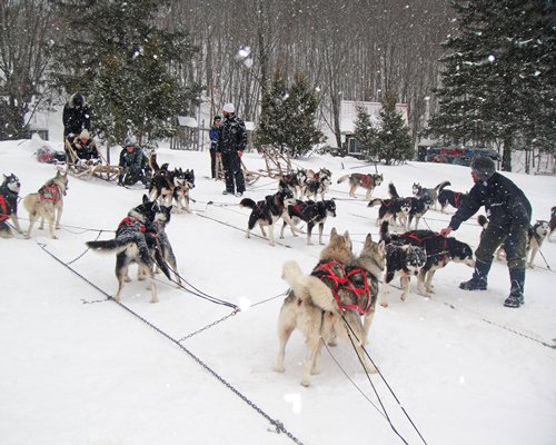 View of people with Siberian Huskies on a wooded area during winter.