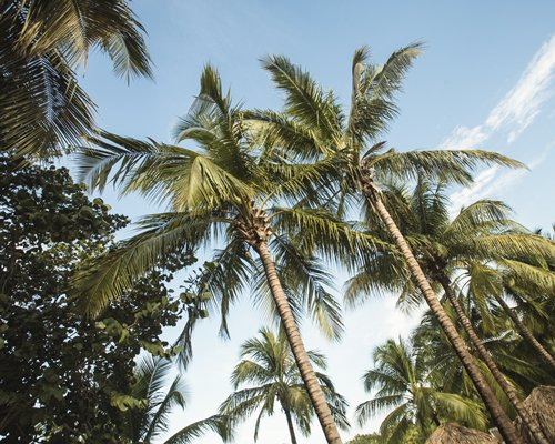 A view of coconut trees.
