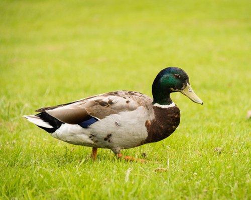 A mallard duck.