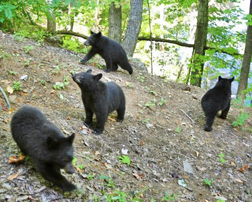 Bears on the wooded area.