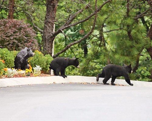 A group of bear cubs crossing the road.