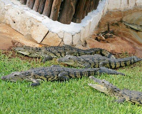 A view of crocodiles.