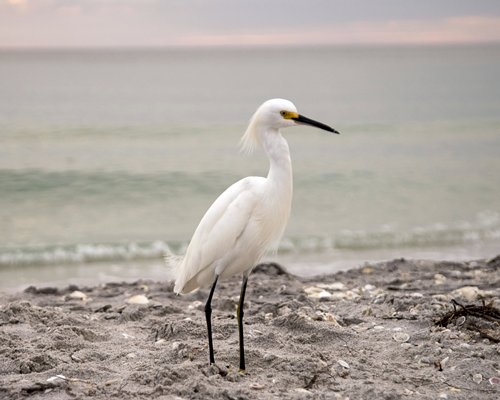 A snowy egret bird on the shores of the beach.