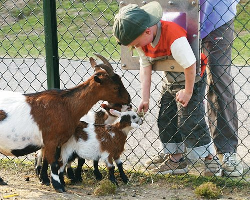A kid feeding the goats.