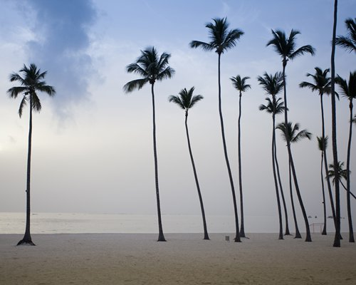 A view of coconut trees at dusk.