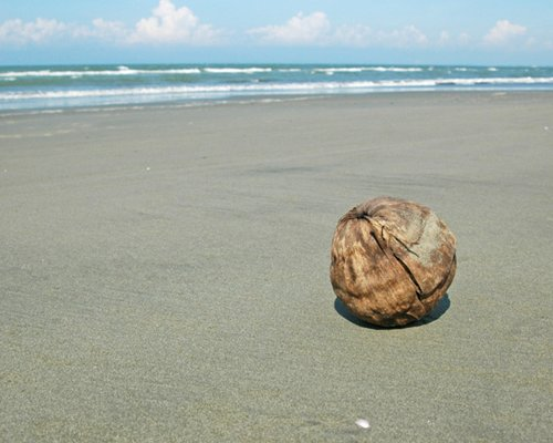 A dry tender coconut on the beach.