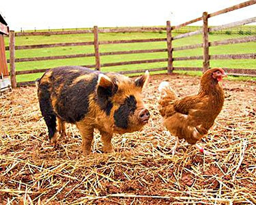 View of Kunekune pig and chicken on the farm.