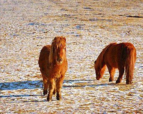 Two miniature Shetland ponies.