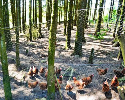 View of chickens in the wooded area.