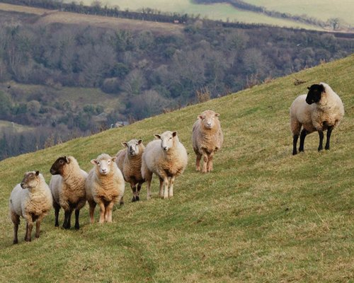 View of sheep in a meadow.