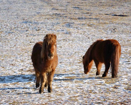 A view of the shetland pony.