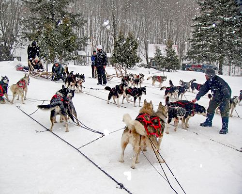 View of people with Siberian Huskies at a snowy area with a snowfall.